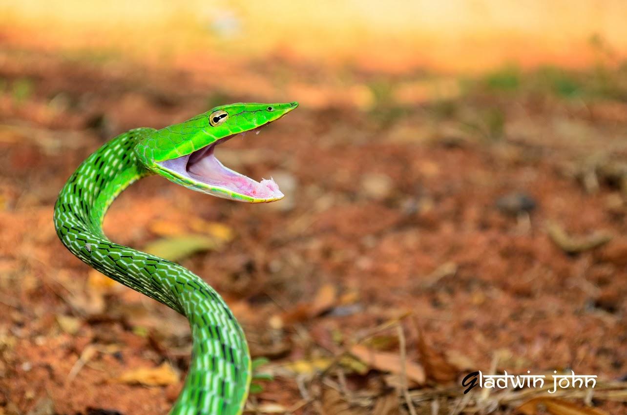 biodiversity of bharathidasan university non venomous snakes of bdu