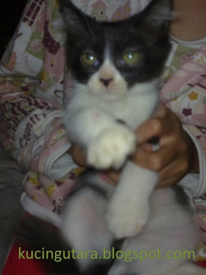 Kucing Utara Kucing Quot Tuxedo Cat Quot