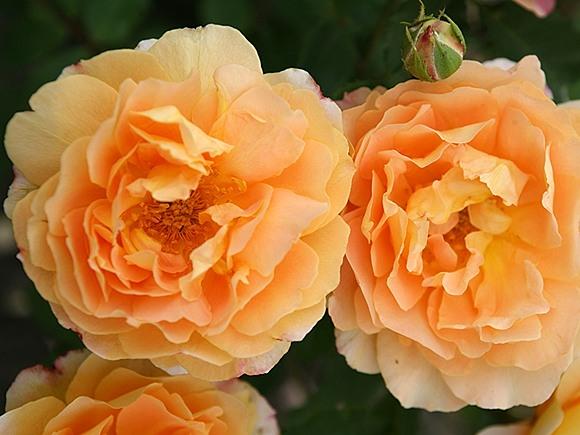 Sonnenwelt rose сорт розы фото