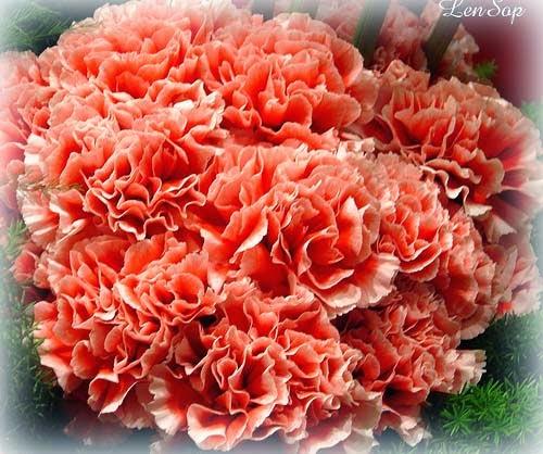 Những loài hoa-món quà mang ý nghĩa ngày 8 tháng 3