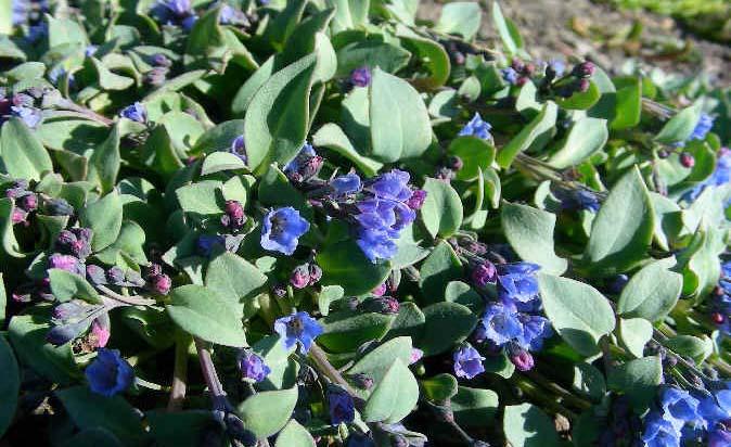Mertensia maritima for Plante huitre