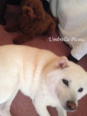 白柴犬とトイプー20151231