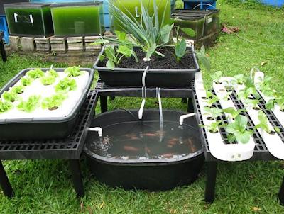 aquaponic, aquaponics, aquaponics system, backyard gardening, gardening for profit, gardening ideas, gardening secret, gardening tips, vegetable gardening