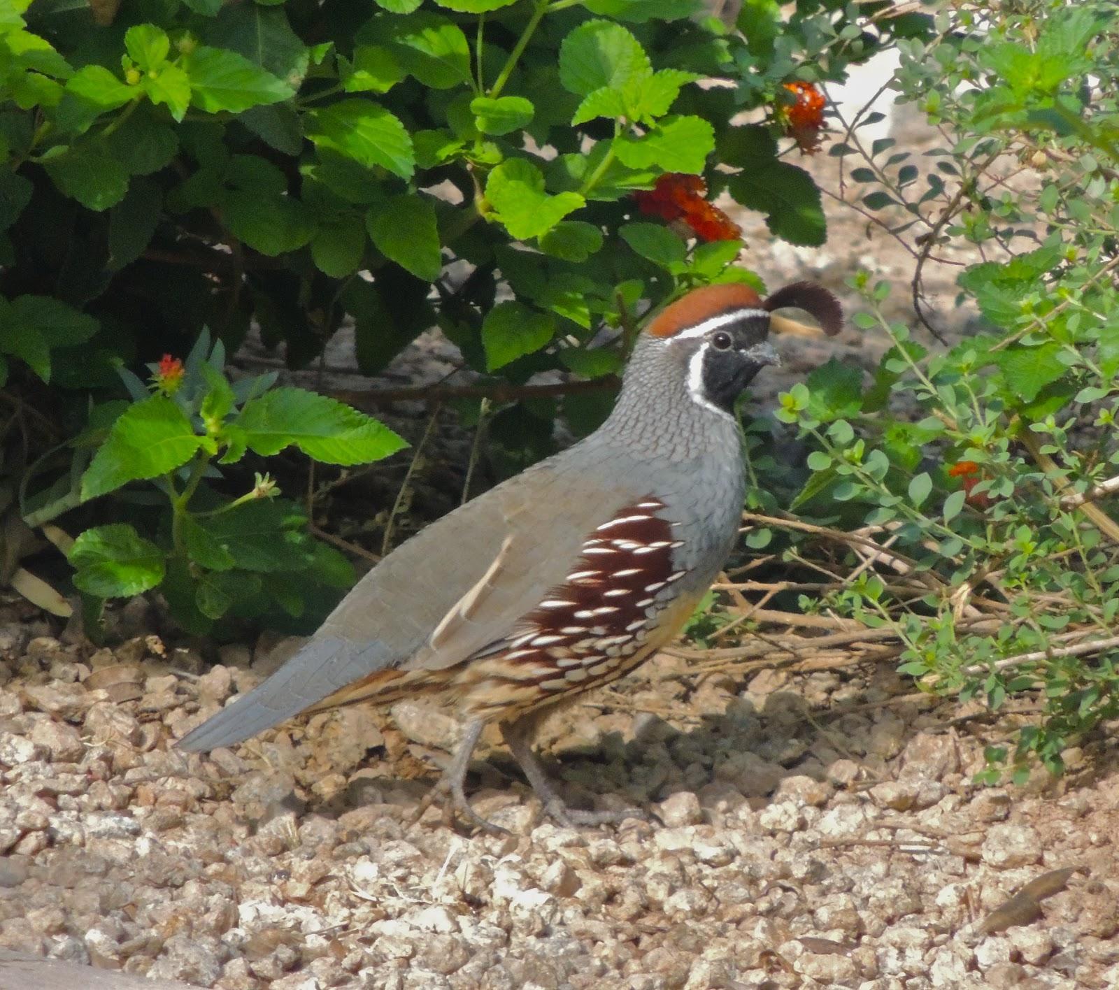 scottsdale daily photo backyard quail