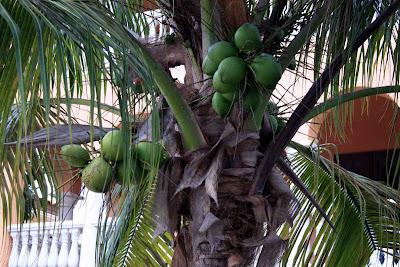 Kokospalmen auf Captiva Key, Florida© Copyright Monika Fuchs, TravelWorldOnline
