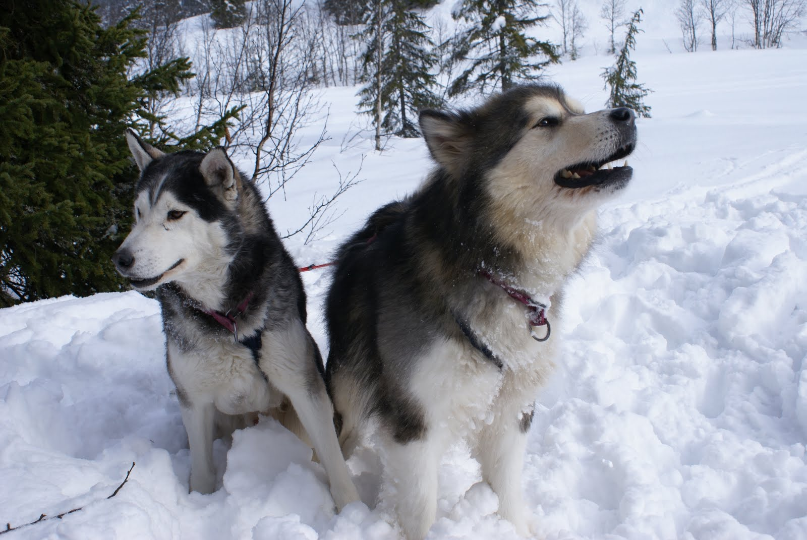 http://2.bp.blogspot.com/-iXKqvcPFVjI/Th7yECM58rI/AAAAAAAAABE/OJYlnw61Xdg/s1600/Alaskan+Malamute+Dogs+Wallpapers++5.jpg
