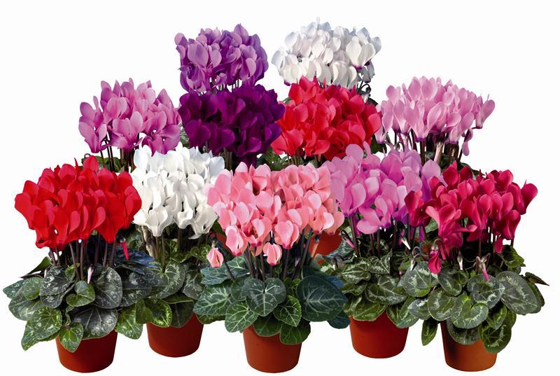 göz alıcı renklere bürünmüş alımlı çiçekleriyle sevilen ...