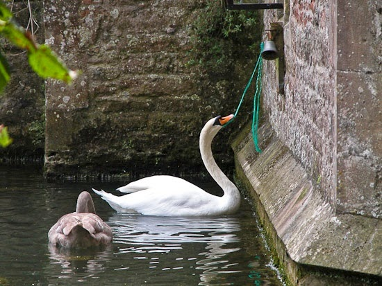 Swans Bishop's Palace Wells