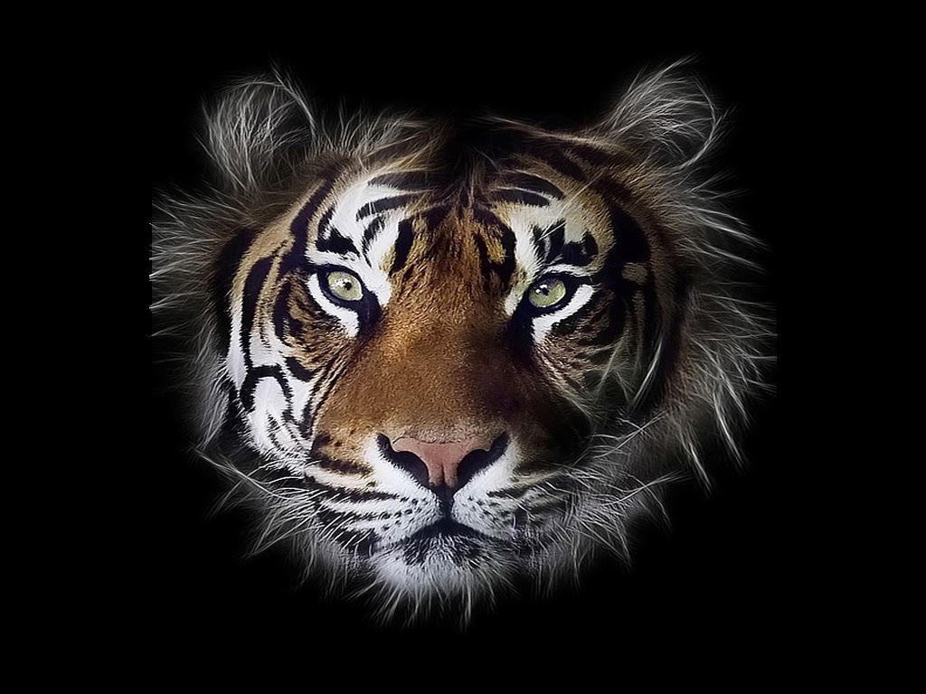 Tiger face wallpapers free hd desktop wallpapers download - Tiger hd wallpaper for pc ...