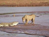 Pertarungan Sengit Buaya dan Singa Memperebutkan Mangsa