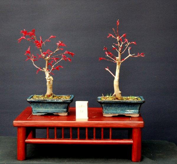 jupp s bonsai blog neur austrieb roter ahorn. Black Bedroom Furniture Sets. Home Design Ideas