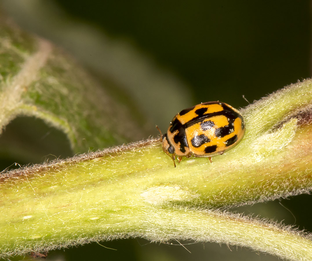14-spot Ladybird, Propylea quattuordecimpunctata, on Wayfaring-tree, Viburnum lantana.  Burnt Gorse, High Elms Country Park, 5 May 2014.