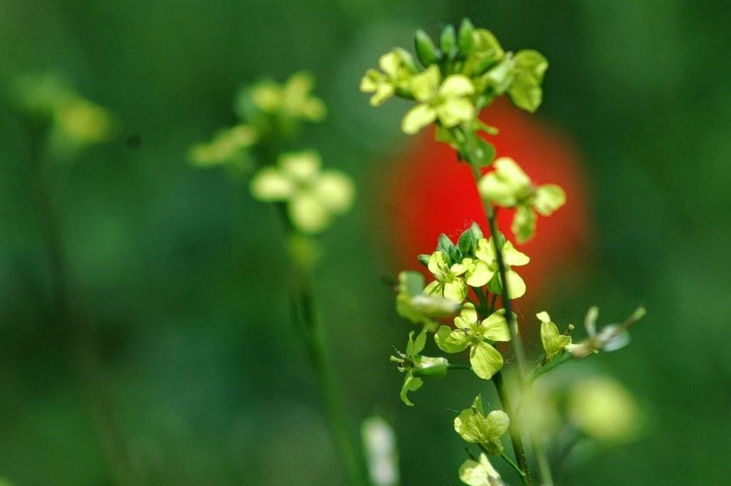 természet, virágok, vadvirágok, tavasz, repcsény retek