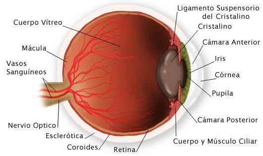anatomia del ojo | SECRETOS DE MÍ SISTEMA OCULAR (EL OJO)