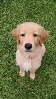 Avery the golden retriever