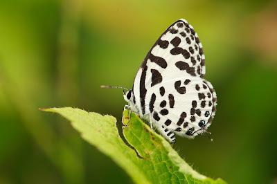 Butterfly Perching