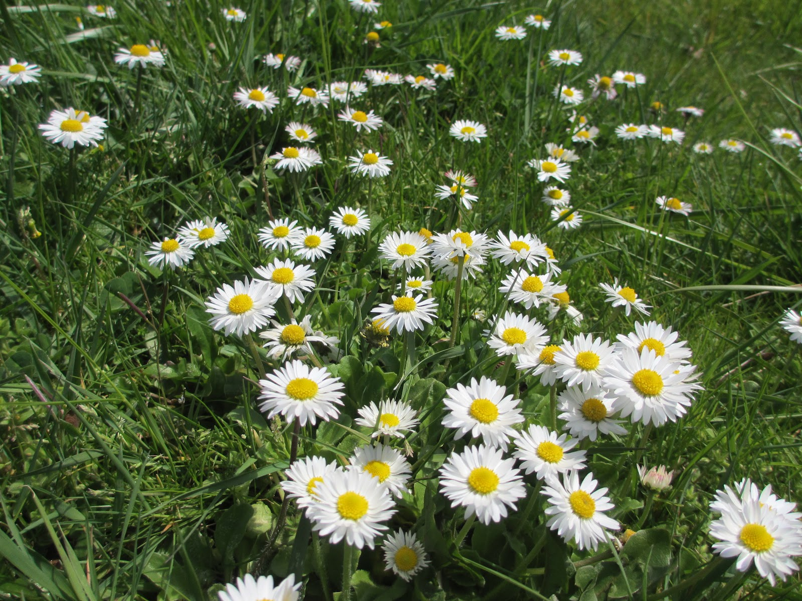 the wellwatered garden field of daisies