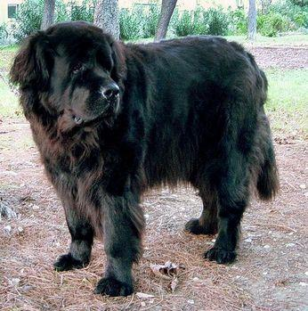 How Well Is Your Newfoundland Groomed?