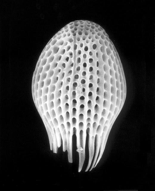 Черно-белые фотографии микроорганизмов  Клаудии Фэхренкемпер