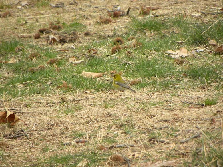 A Palm Warbler