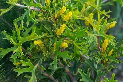 Spiny Synaphea (Synaphea spinulosa)