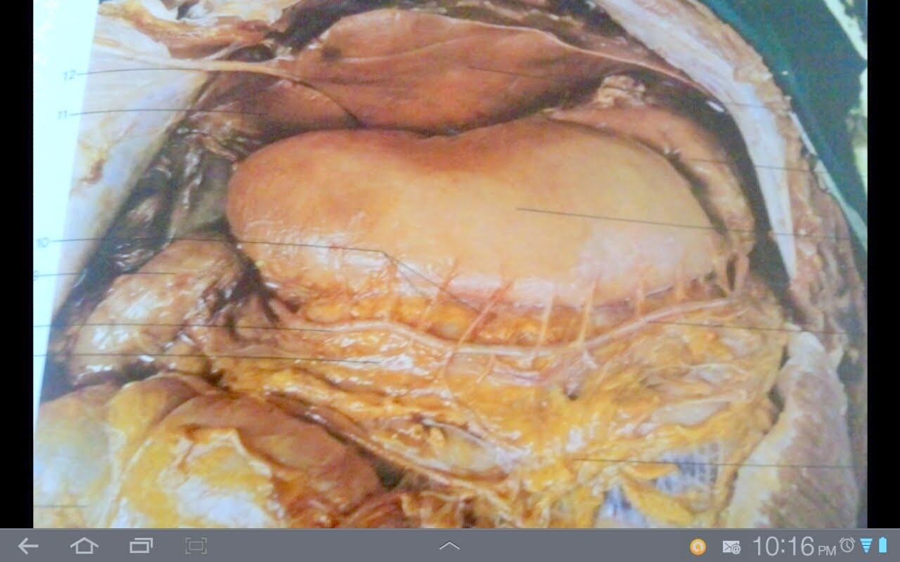 pulmones: Anatomia de Estómago