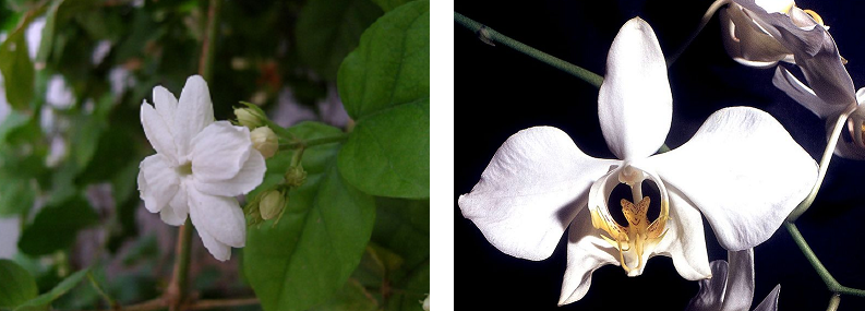 Image showing a white jasmine and a moon orchid