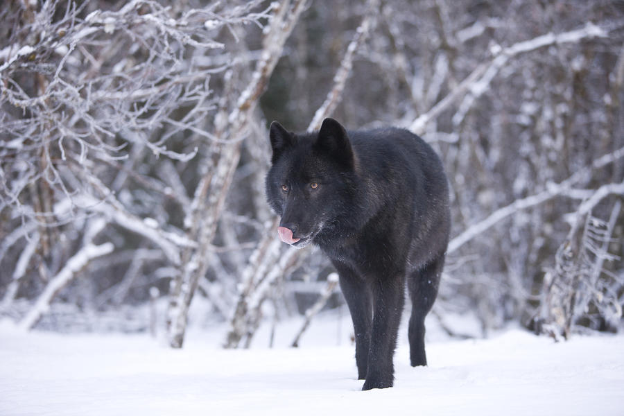 .: Arrow :. Black+Wolf+in+Snow+4