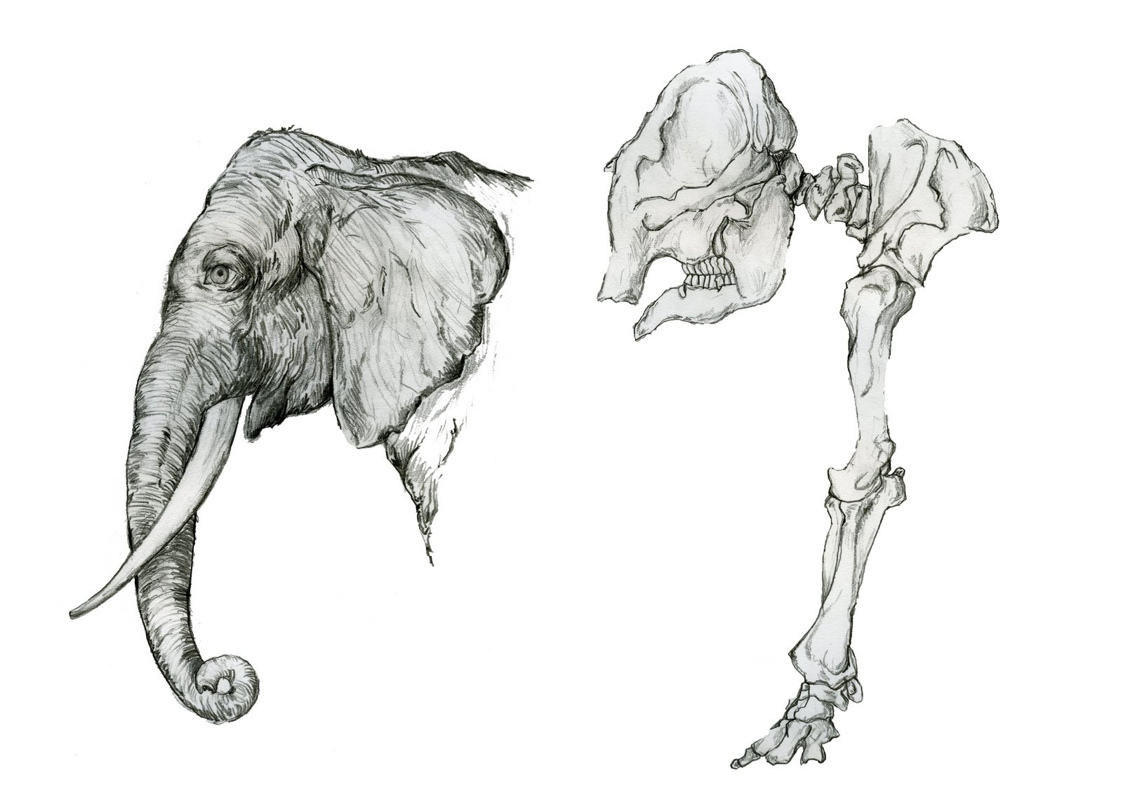 Animal Skeleton Drawings