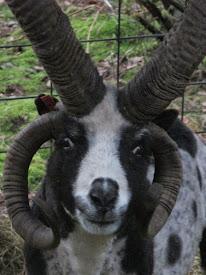 Goth ~ My Jacob Sheep ram