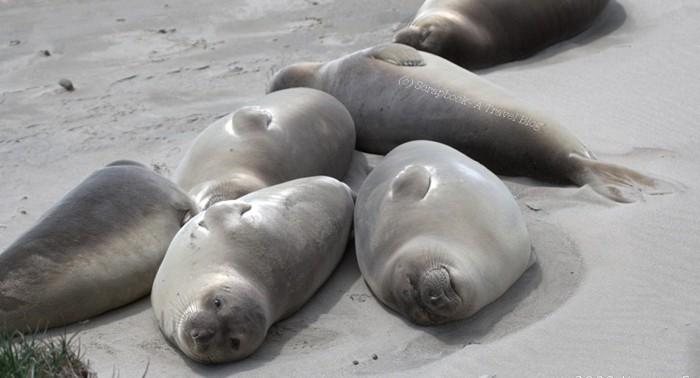 Baby elephant seal