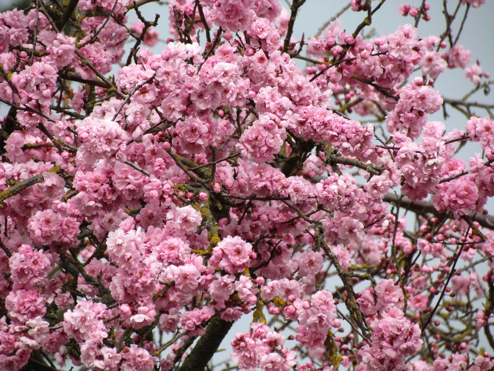 Pink flowering trees bing images for Pink small tree