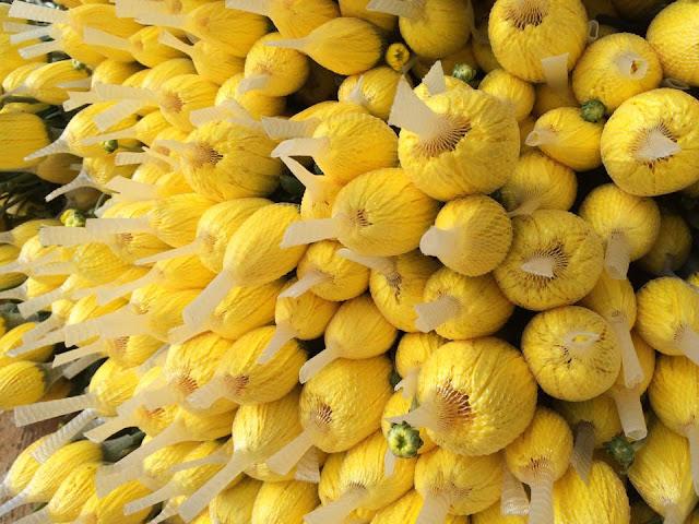 hoa cúc lưới