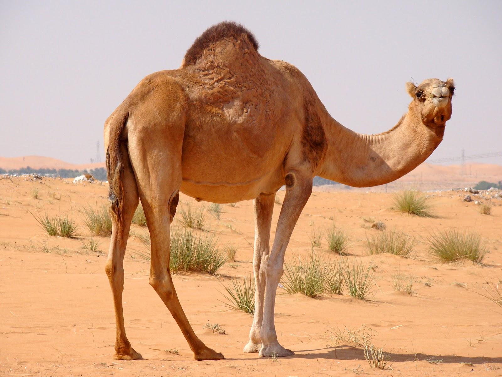 Нигерия: Верблюжье мясо для праздника!