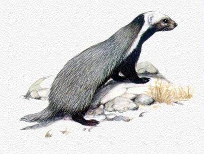 Huroncito patagonico Lyncodon patagonicus
