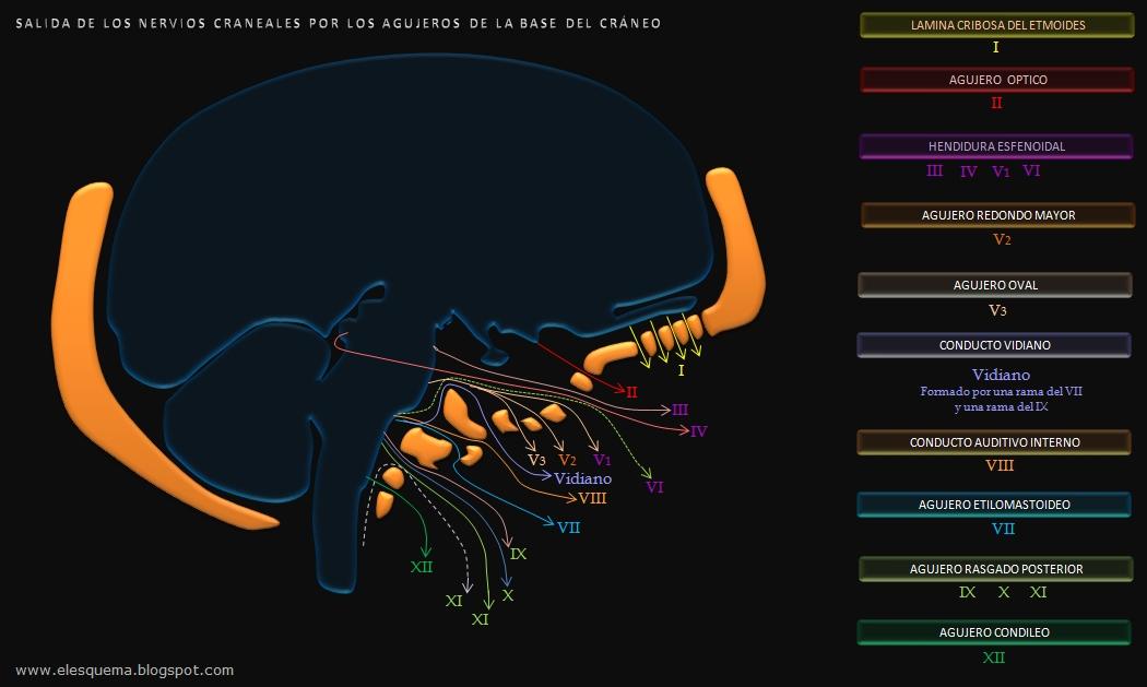 Nervios Craneales - Agujeros del Cráneo | Esquemas, diagramas ...