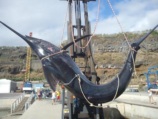 Pez espada el blog del puerto for Curiosidades del pez espada