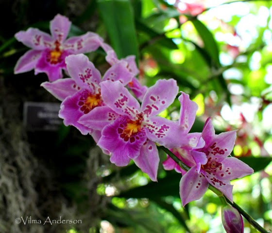 Phalaenopsis orchids shown at the New York Botanical Gardens