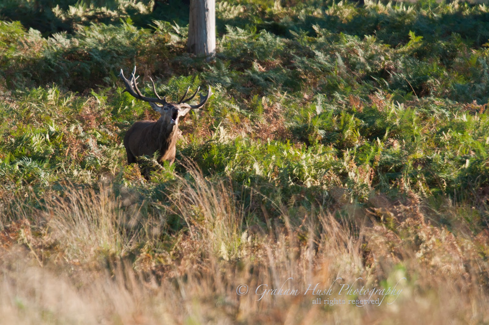 Graham Hush Photography Richmond Park Deer Rut  Part 1