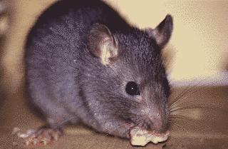 rato roendo
