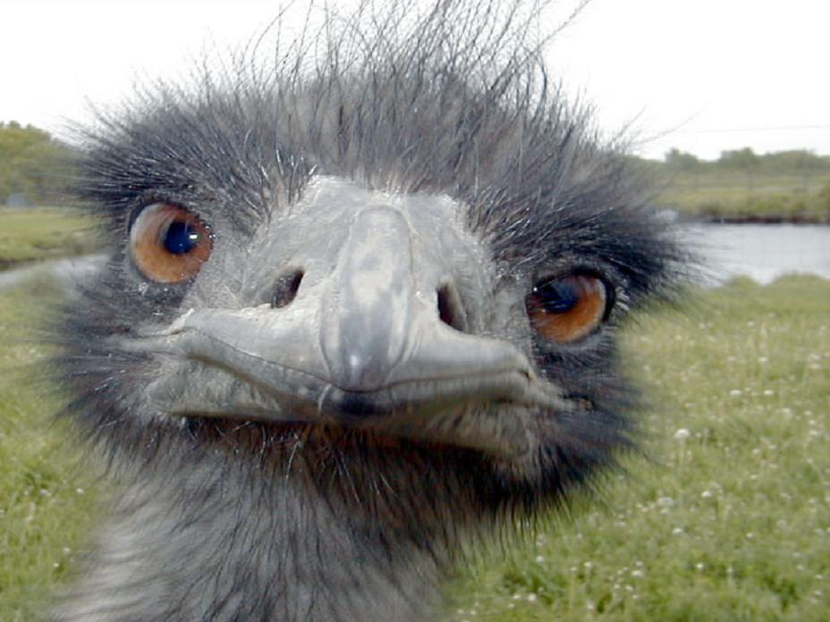 emu.jpg