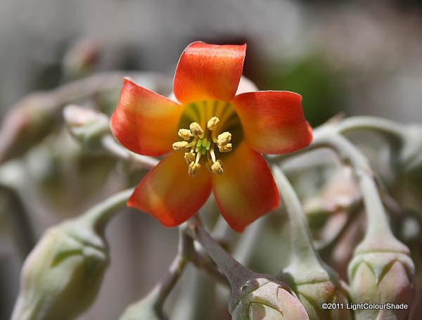 Cotyledon orbiculata (Pigs ear) flower close-up