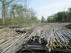 Waste Bamboo shoots awaiting transport to paper mills.