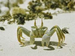 gambar kepiting zombie