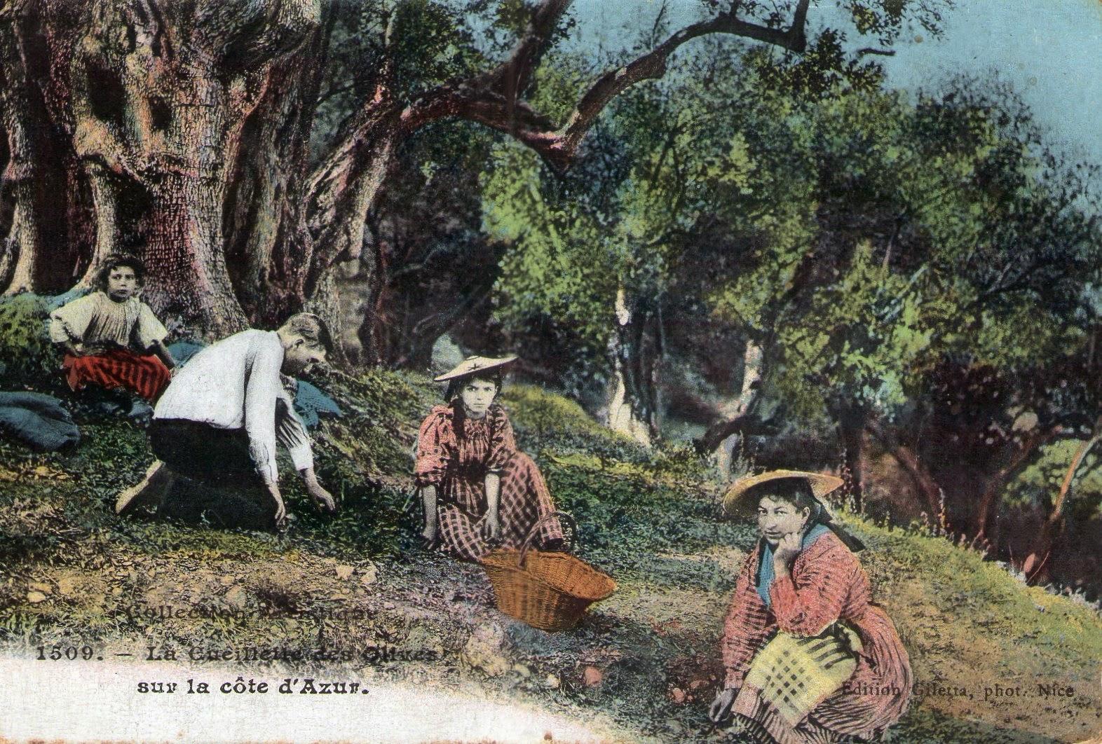 carte postale ancienne vieux m tiers provence cueillette des olives cote. Black Bedroom Furniture Sets. Home Design Ideas