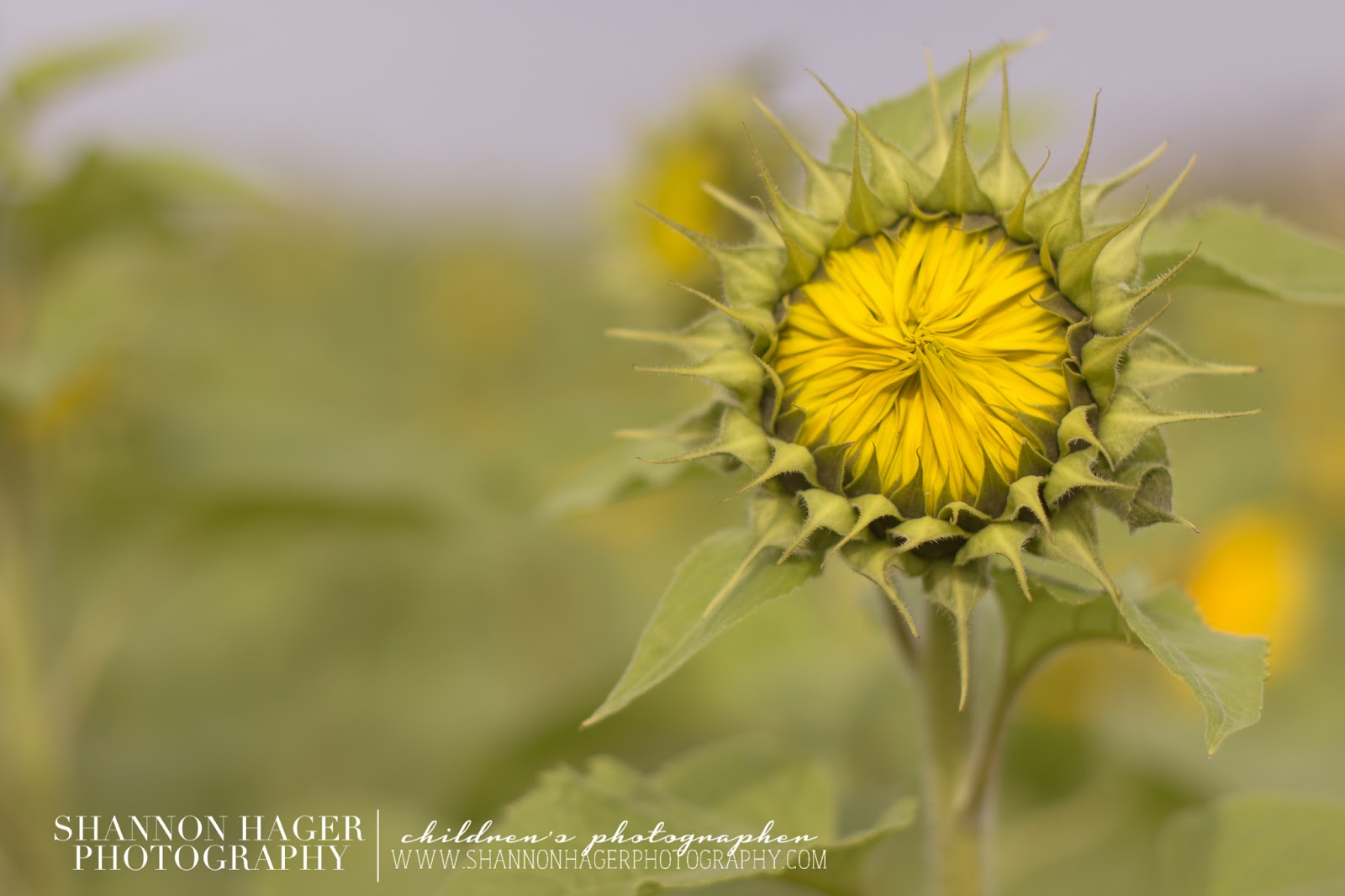 Sunflowers in Okinawa by Shannon Hager Photography, Portland Photographer