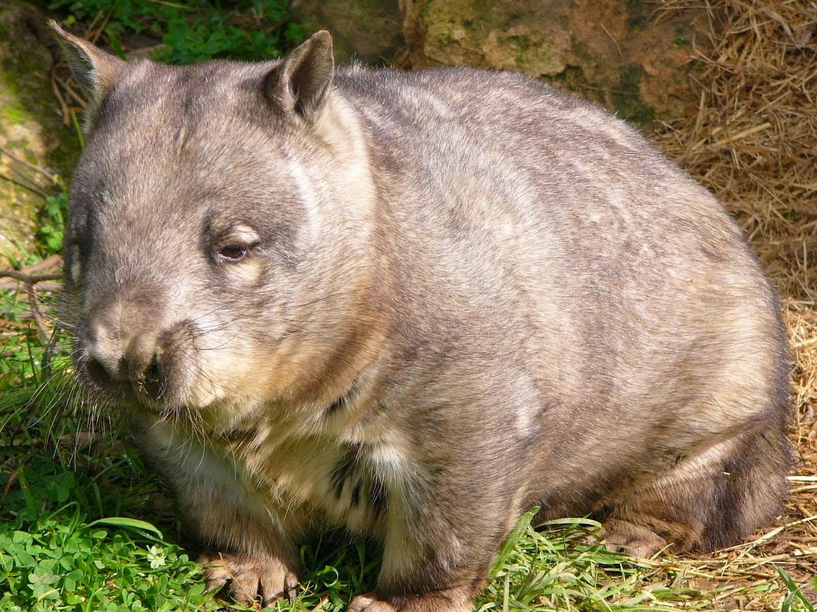 El wombat de nariz peluda del sur