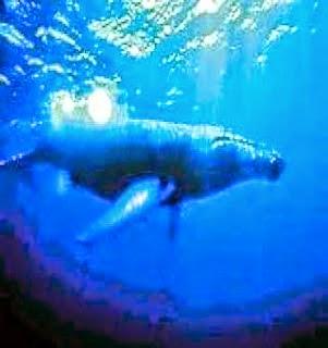 foto ikan paus terbesar di dunia