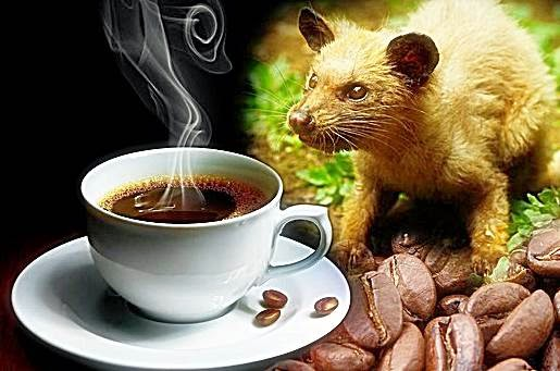 Civet Coffee For Young Women Beauty USA