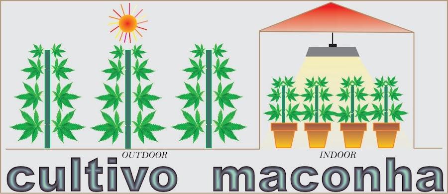 cultivo maconha - plantar maconha